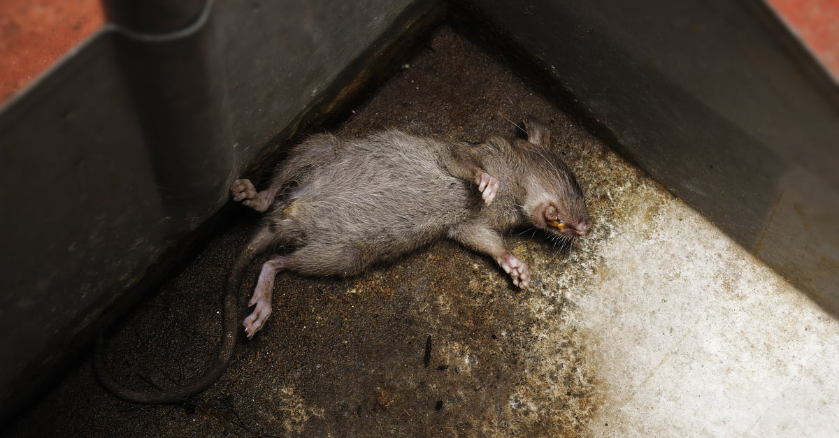 Dead-Mouse-Smell-2