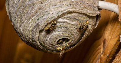 wasps-nest-in-a-building
