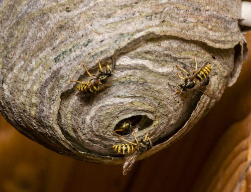 How to Get Rid of Wasps: Wasp Control