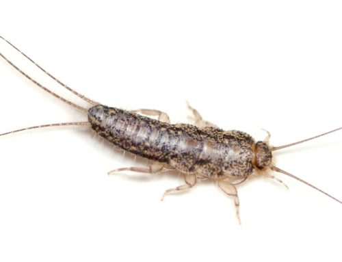 How to Get Rid of Silverfish in Your House