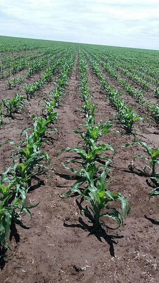 Maize farming with Lumax 537.5 SE