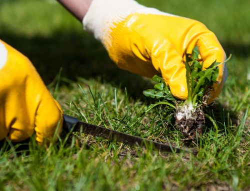 Common Lawn Weeds and How to Get Rid of Them