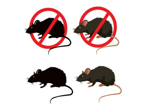 The Difference Between Rats and Mice – Why it Matters