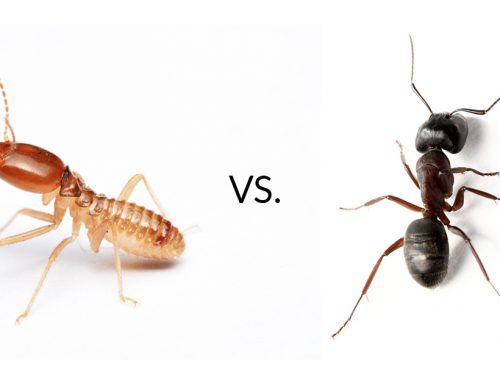 Termite or Ant? What's the Difference?