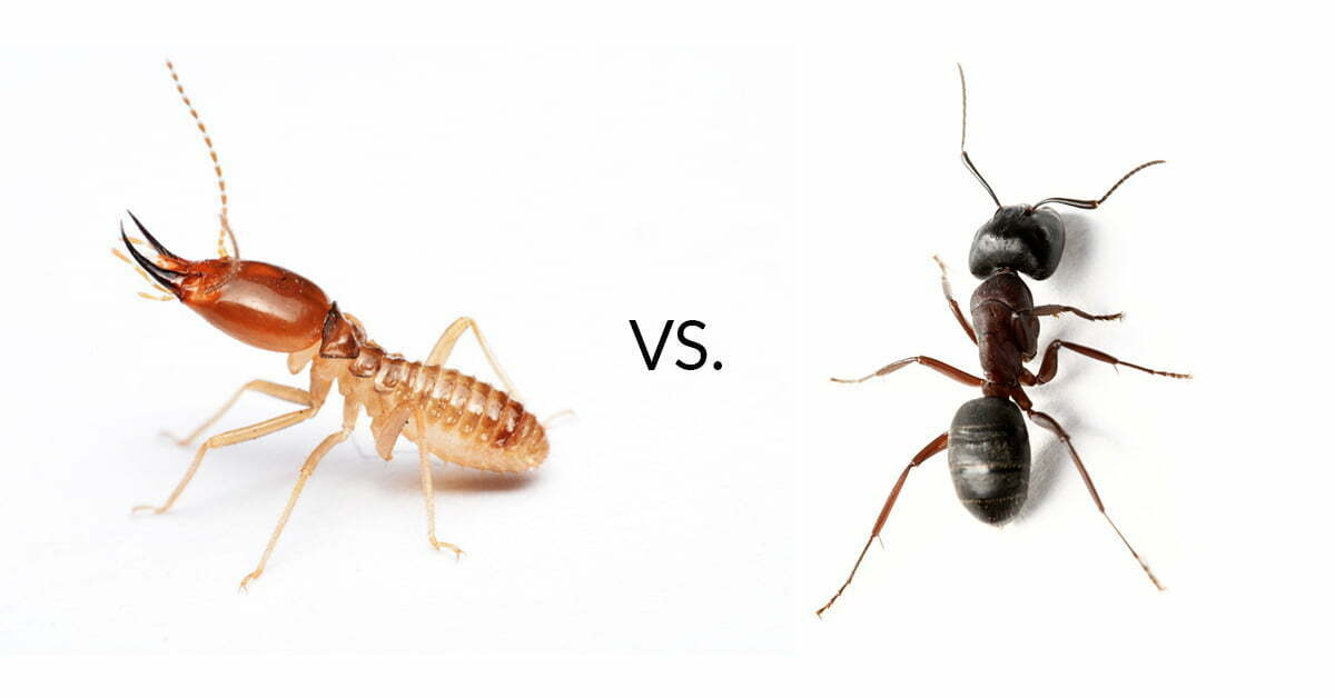 Termite or Ant?: What's the Difference?